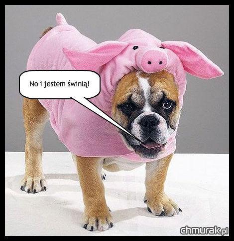 pies świnia