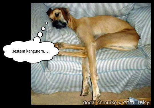kangur czy pies