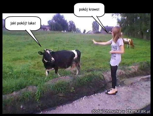 zdziwiona krowa
