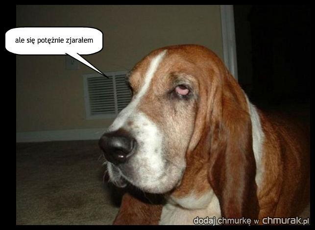 Gandzia dog