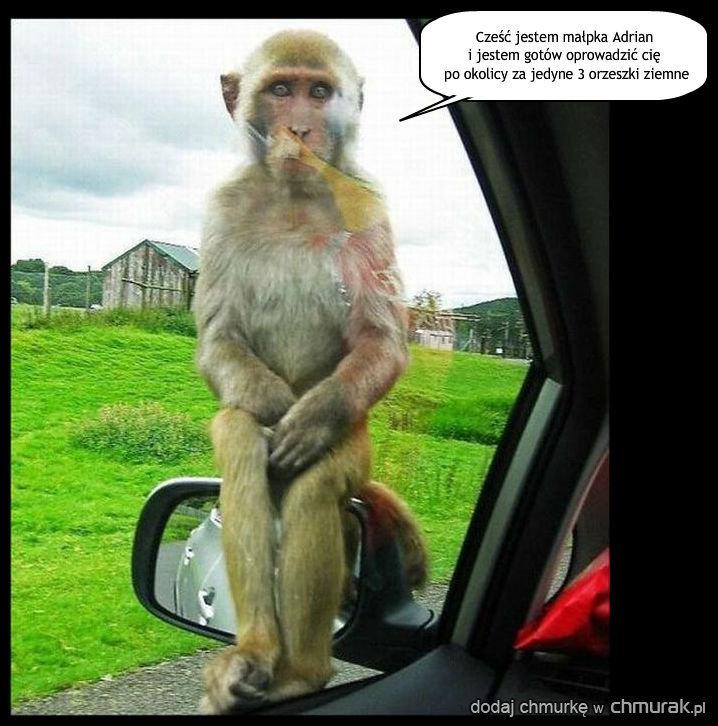 Małpka przewodnik