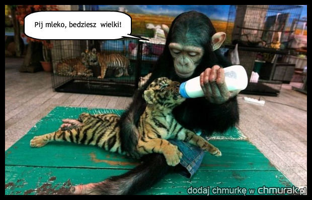 opiekuńcza małpka
