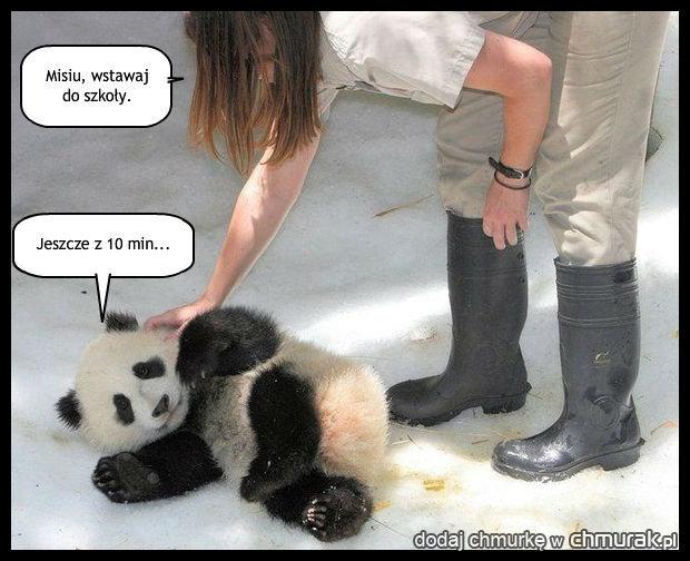 Leniwa panda