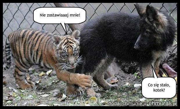 Przerażony tygrysek
