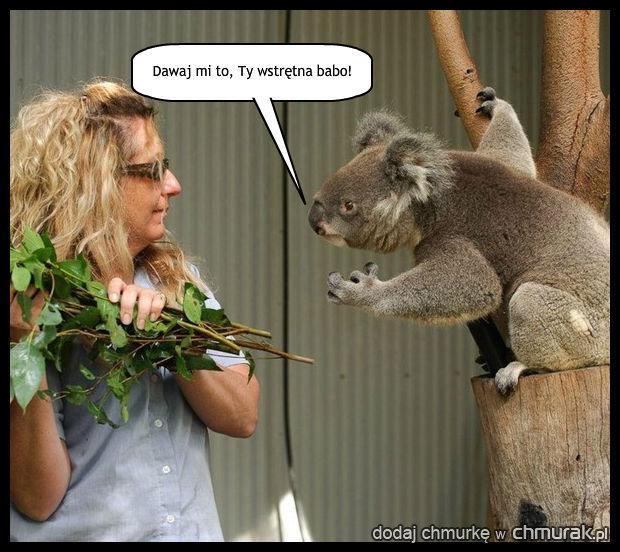 Nie drażnij... misia koala