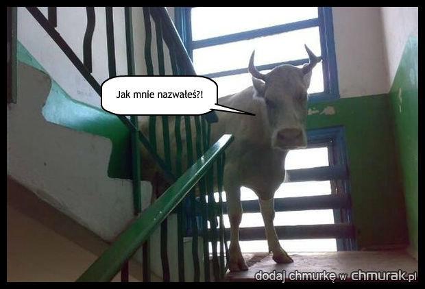 Krowa z drugiego piętra