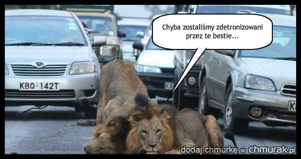 Lwy w miejskiej dżungli.