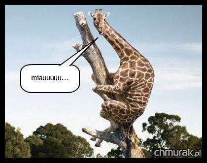 żyrafa na drzewie