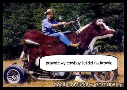prawdziwy cowboy jeździ na krowie