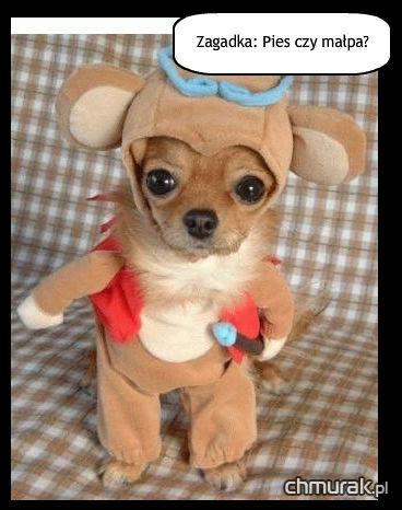 pies czy małpa?